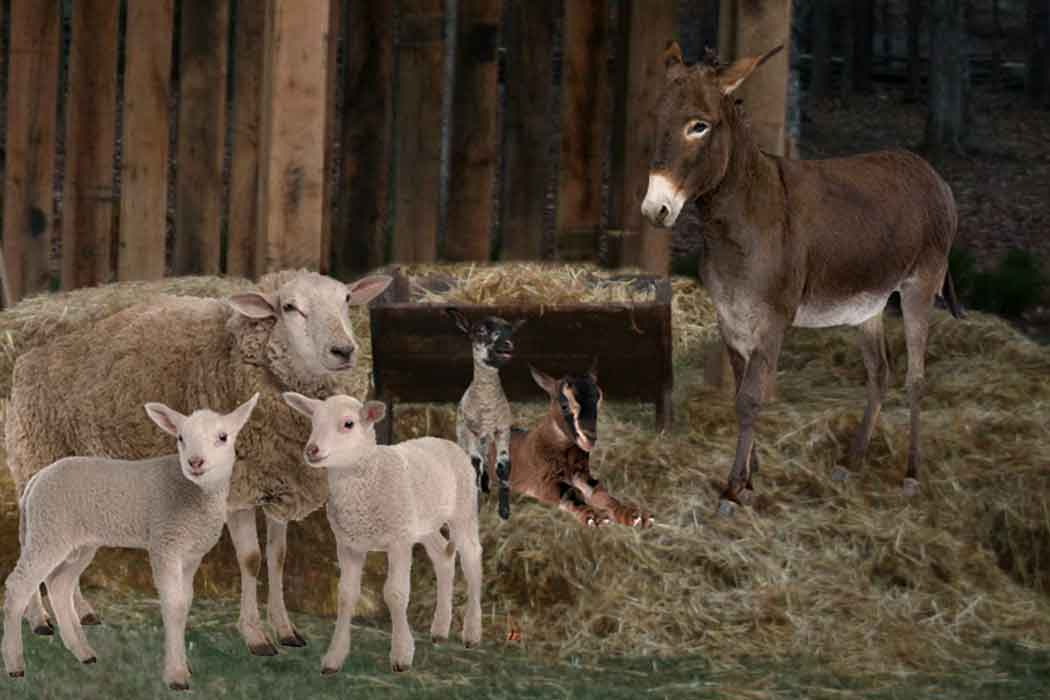 Donkey Sheep Goats in stable